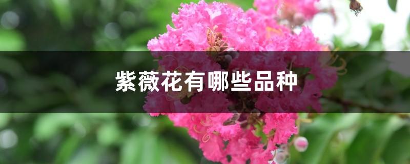 紫薇花有哪些品种