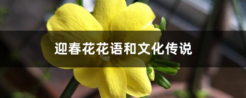迎春花花语和文化传说