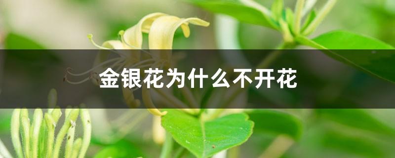 金银花为什么不开花