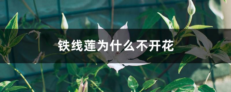 铁线莲为什么不开花