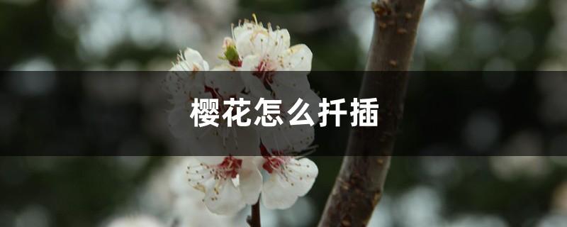 樱花怎么扦插