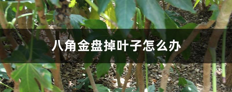 八角金盘掉叶子怎么办