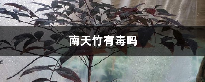 南天竹有毒吗