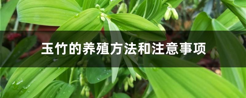 玉竹的养殖方法和注意事项