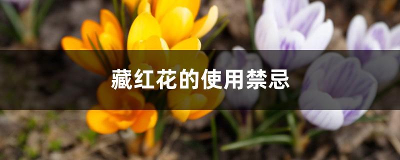 藏红花的使用禁忌