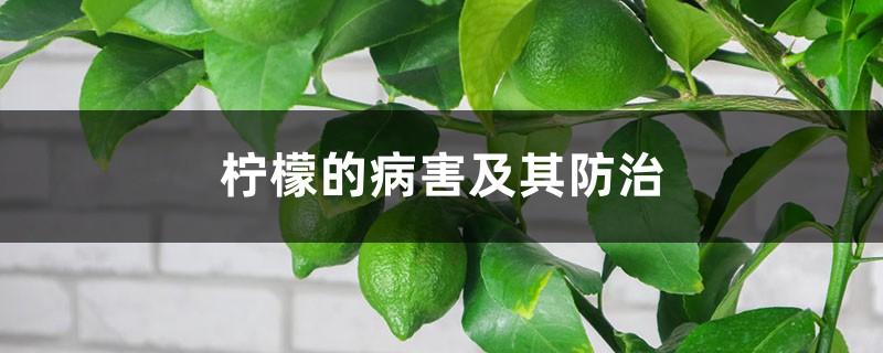 柠檬的病害及其防治