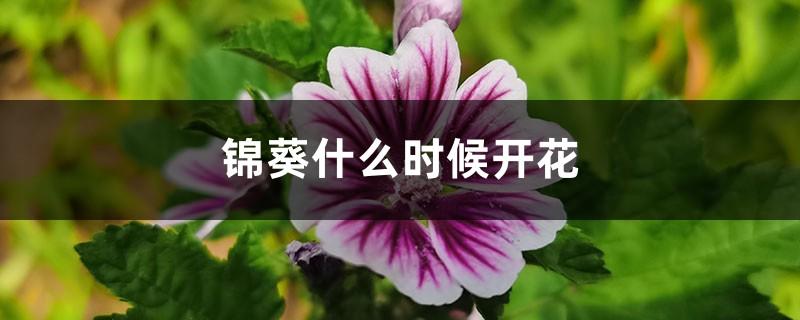锦葵什么时候开花