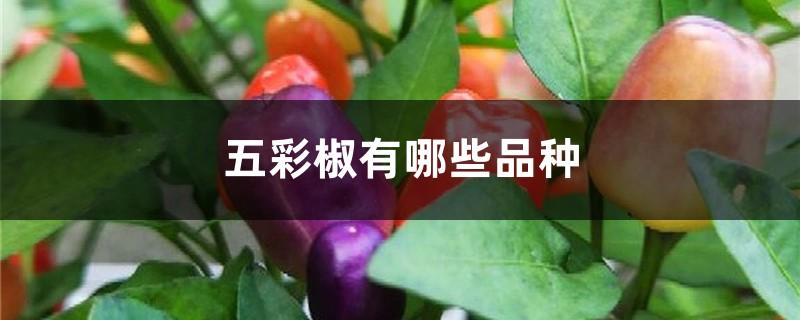 五彩椒有哪些品种