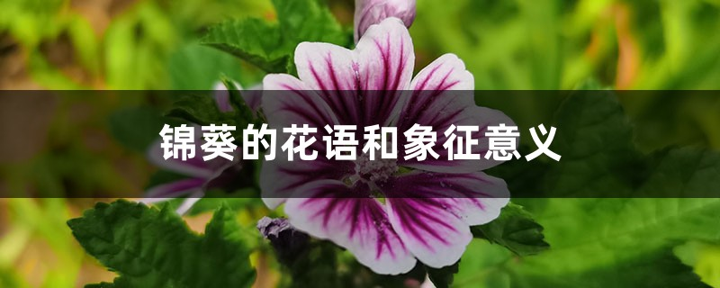 锦葵的花语和象征意义