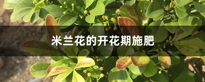 米兰花的开花期施肥