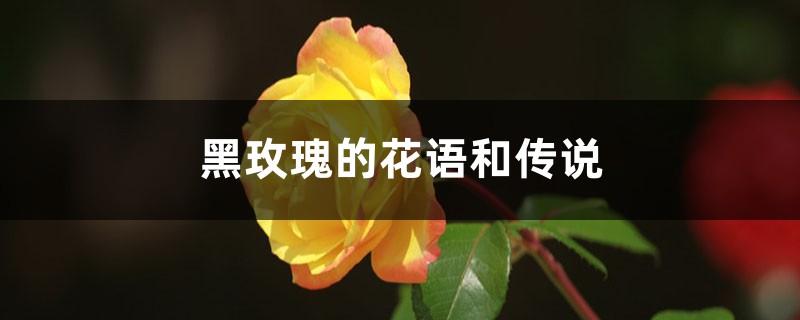黑玫瑰的花语和传说