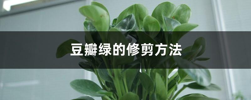 豆瓣绿的修剪方法