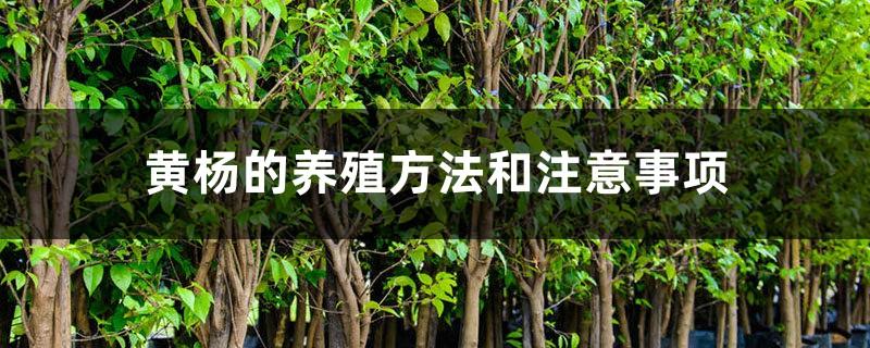 黄杨的养殖方法和注意事项