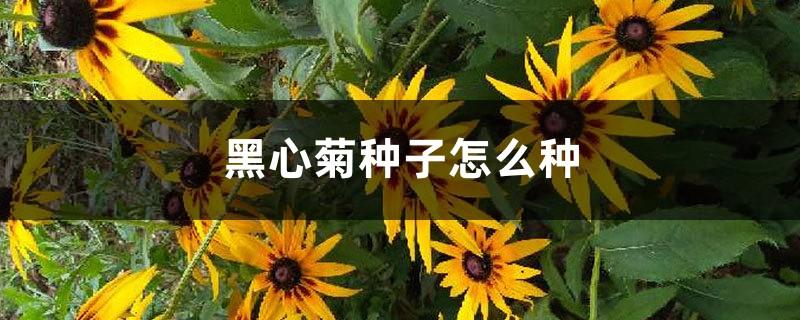 黑心菊种子怎么种