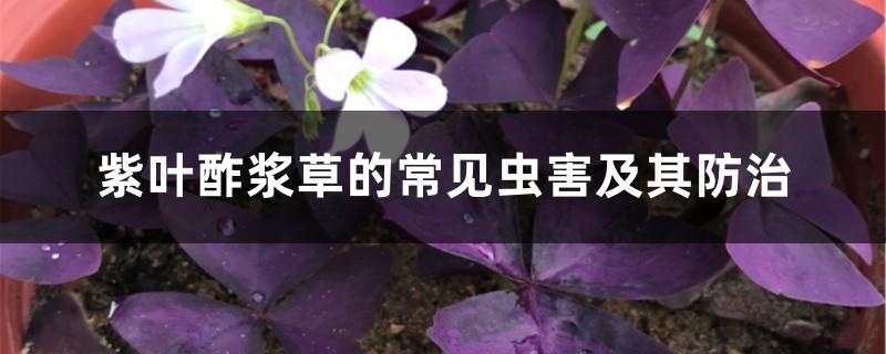 紫叶酢浆草的常见虫害及其防治