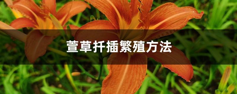 萱草扦插繁殖方法