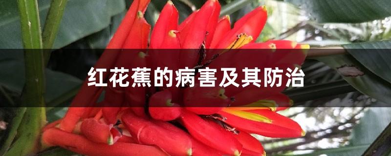 红花蕉的病害及其防治