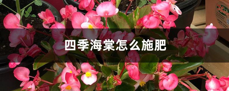 四季海棠怎么施肥大全!