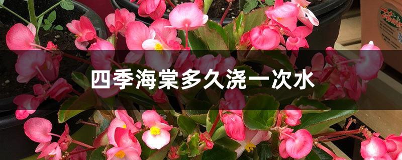 四季海棠多久浇一次水