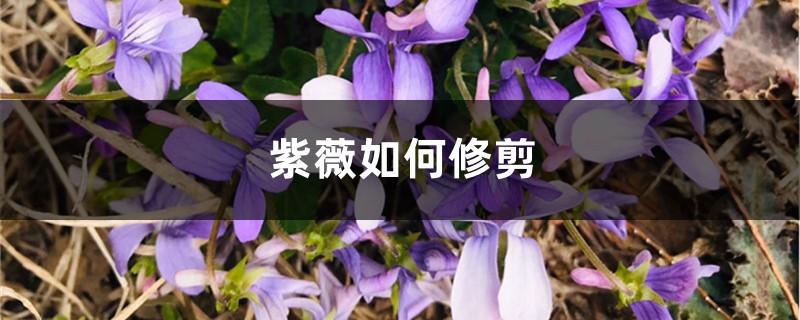 紫薇如何修剪