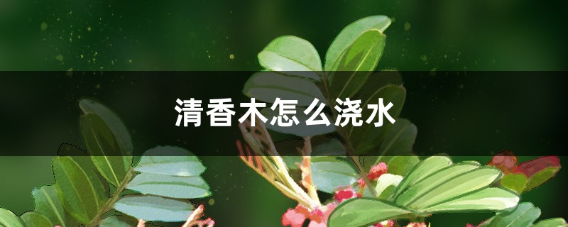 清香木怎么浇水