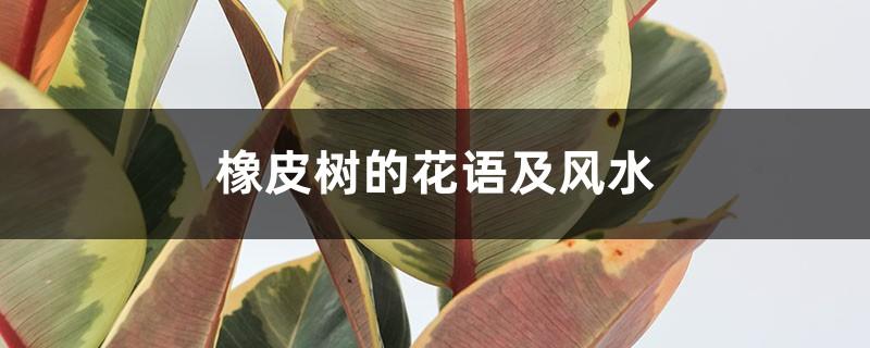 橡皮树的花语及风水