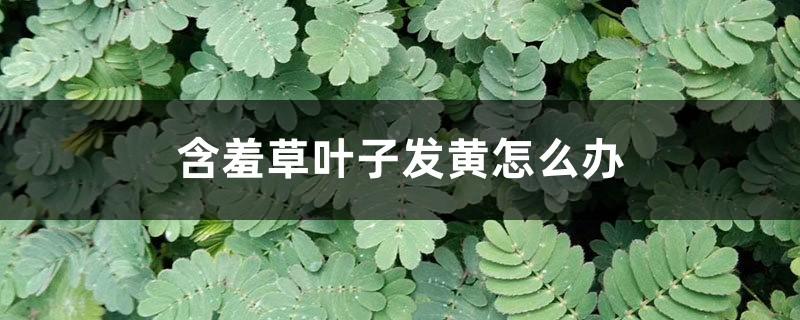 含羞草叶子发黄怎么办
