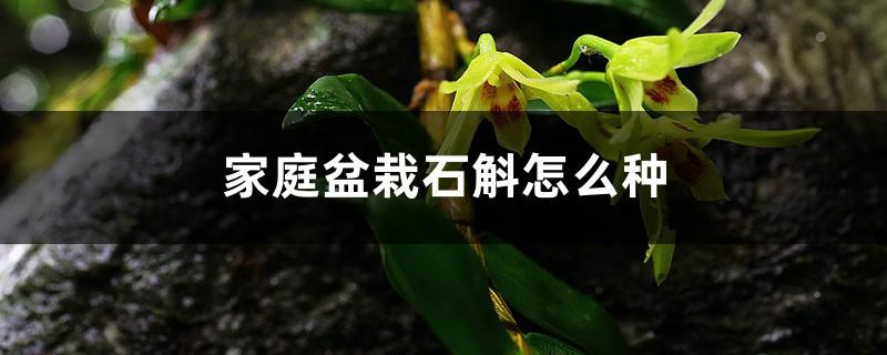 家庭盆栽石斛怎么种