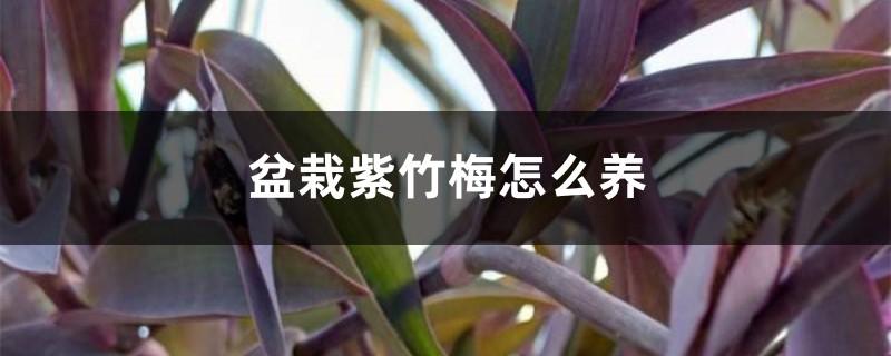 盆栽紫竹梅怎么养