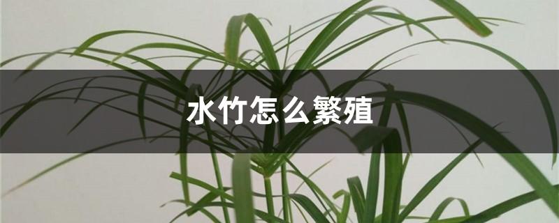 水竹怎么繁殖