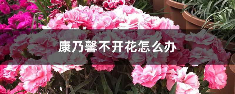 康乃馨不开花怎么办