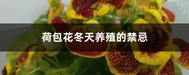 荷包花冬天养殖的禁忌