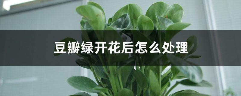 豆瓣绿开花后怎么处理