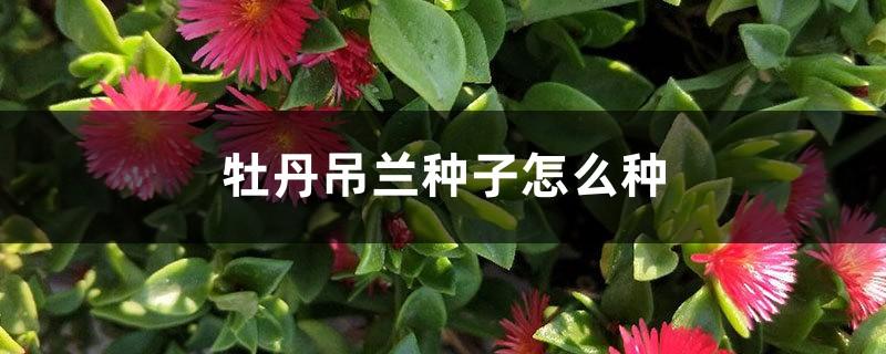 牡丹吊兰种子怎么种
