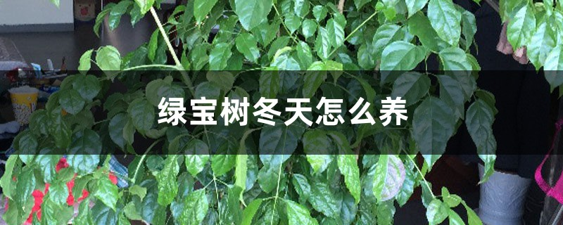 绿宝树冬天怎么养