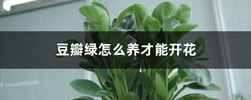 豆瓣绿怎么养才能开花