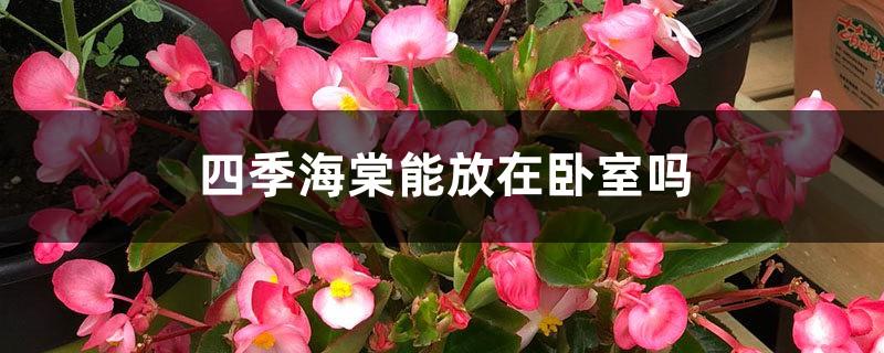 四季海棠能放在卧室吗