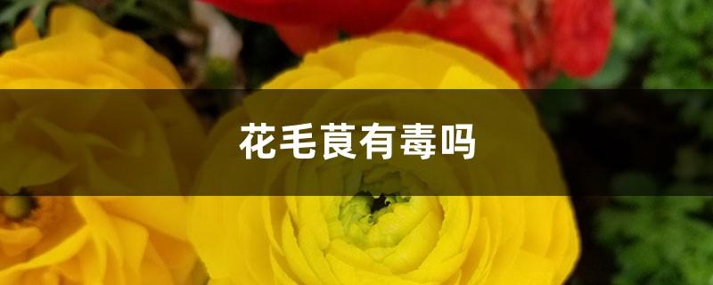 花毛茛有毒吗
