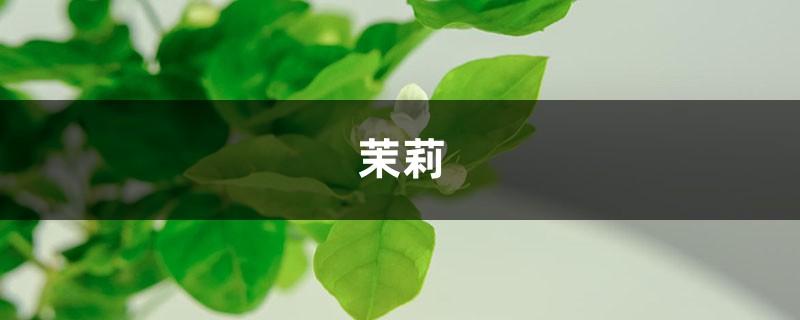 茉莉进锅煮一煮,叶绿枝壮,花朵呼呼冒!