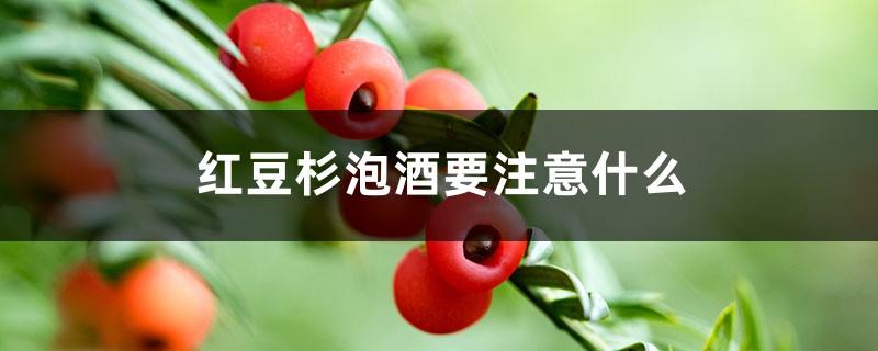 红豆杉泡酒要注意什么
