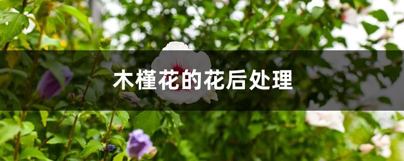 木槿花的花后处理