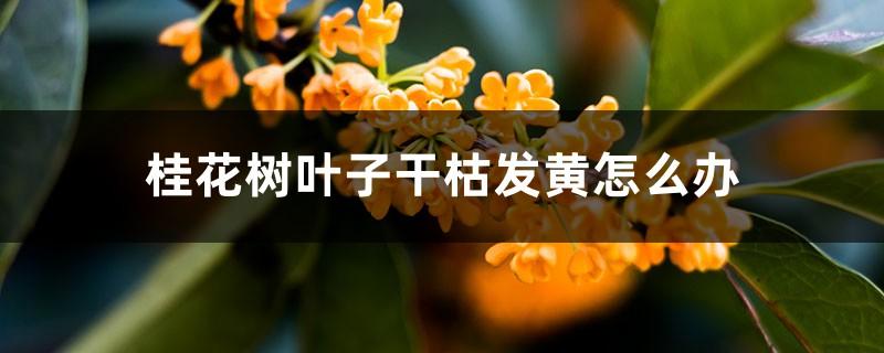 桂花树叶子干枯发黄怎么办