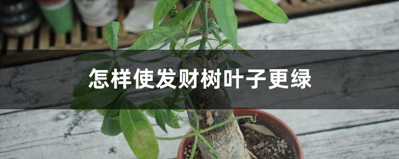 怎样使发财树叶子更绿