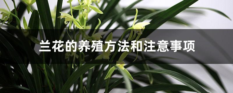 兰花的养殖方法和注意事项