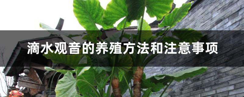 滴水观音的养殖方法和注意事项