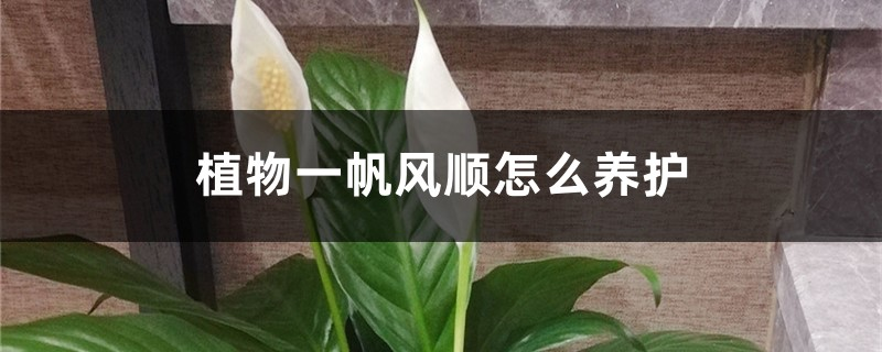 植物一帆风顺怎么养护