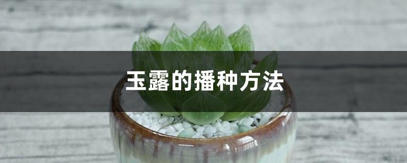 玉露的播种方法