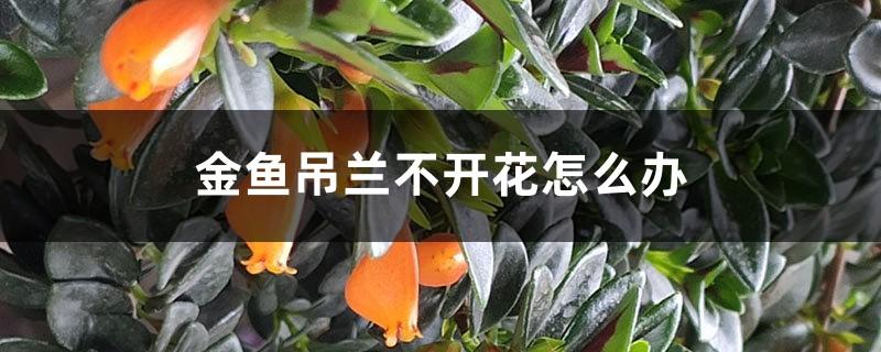 金鱼吊兰不开花怎么办