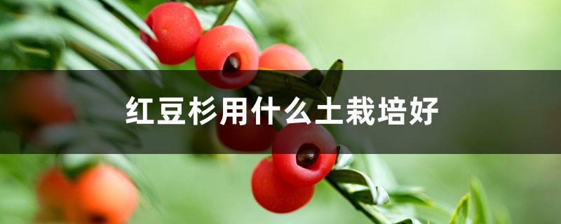 红豆杉用什么土栽培好