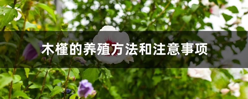 木槿的养殖方法和注意事项